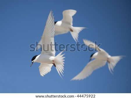 White Fronted Tern (sterna striata) at St Kilda Beach, Dunedin, New Zealand - stock photo