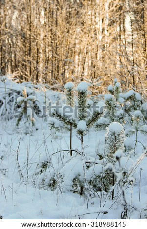 White frost covered trees in winter on a field