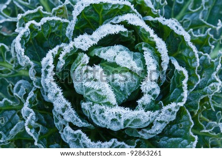 White frost crystals on Brussels Sprouts plant during winter - stock photo