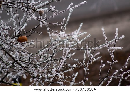 White Frost on Apple Tree Branches
