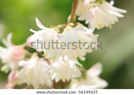 White full petal flowers on twig. Deutzia scabra - stock photo