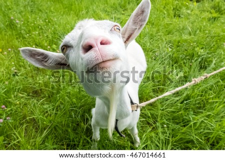 White funny goat on the meadow. Pastoral views and rural animal grazing. The cattle in the pasture grazing. Horned cloven-hoofed livestock on a ranch. Goat's milk is good for health.
