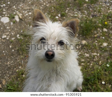 White furry dog looking in camera. Shallow DOF. - stock photo
