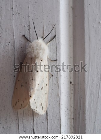 White furry moth on old wooden door - stock photo