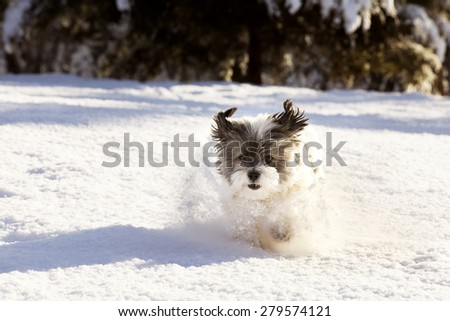 White furry Shih-tzu mix dog jumping through a heavy snow with ears sticking up in the air and a fun and happy expression