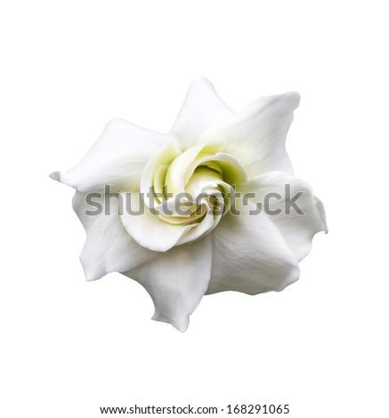 White gardenia jasminoides isolated on white with clipping path - stock photo