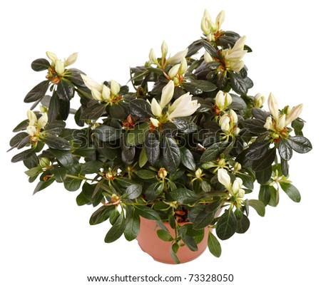 white gardenia plant - stock photo