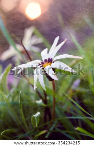 White Gazania flower close up background, shallow DOF , Soft & Dreamy Effect, Low Clarity - stock photo