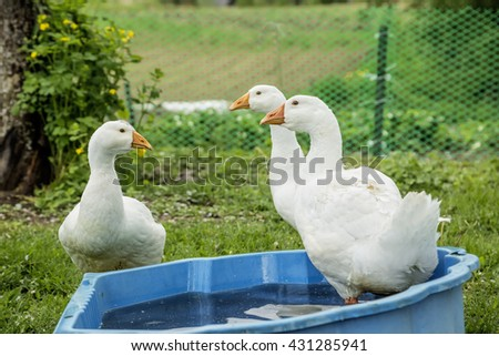 white geese and a blue bowl of water on the green grass