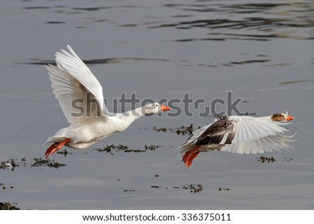 White geese flying over Douro river, north of Portugal - stock photo