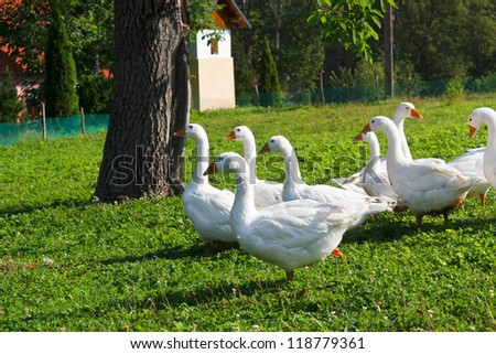 White geese on farm in summer