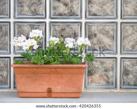 White geranium, pelargonium window box. Spring. - stock photo