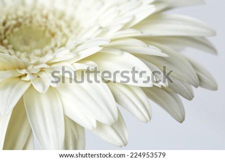 White gerber flower - stock photo