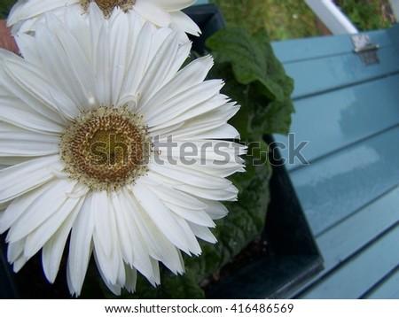 White Gerbera Abstract - stock photo