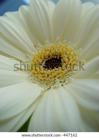 White gerbera close up - stock photo