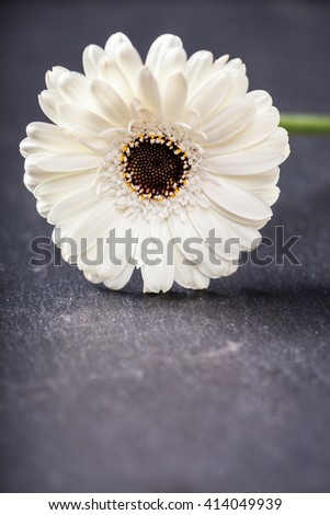 White gerbera daisy, vertical with copy space on slate background, shallow depth of field.