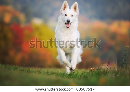 White German Sheepdog Weisser Schweizer Schäferhund Berger Blanc Suisse - stock photo