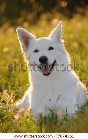 White German Shepherd dog in the evening in back light - stock photo