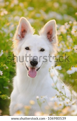White German Shepherd dog in the evening in back light in chamomile Berger Blanc Suisse  White Swiss Shepherd