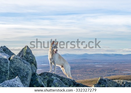 White German Shepherd dog standing on a mountain with mountain landscape in the background in Northern Sweden - stock photo