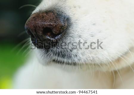 White german shepherd nose - stock photo