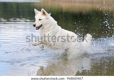 White German Shepherd runs squirting in the water