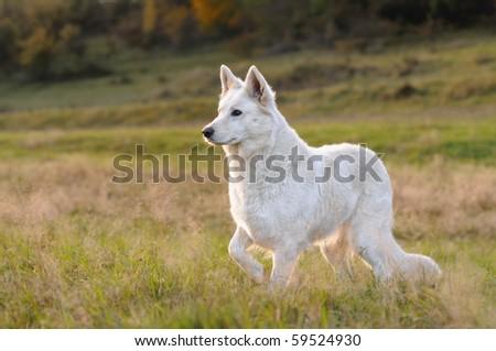 White German Shepherd Weisser Schweizer Schäferhund Berger Blanc Suisse - stock photo