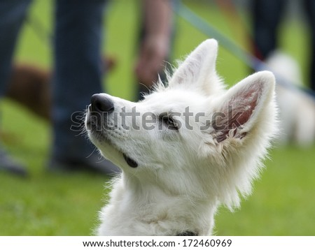 White German shepherd whelp