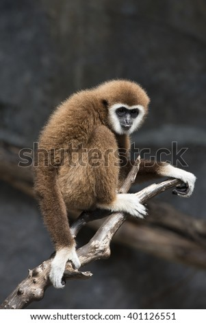 White gibbon  - stock photo