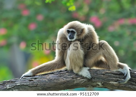 White Gibbon - stock photo
