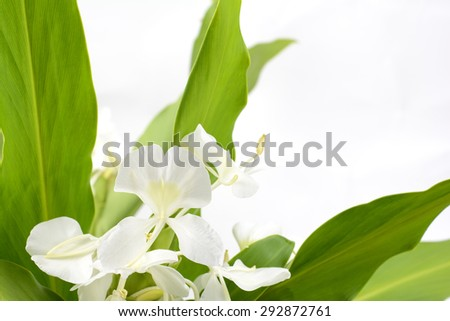 White ginger lily flower in front of gray background