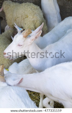 White goat among the goats