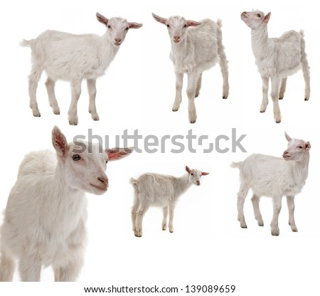 white goat collection - stock photo