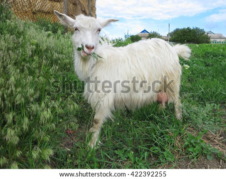 white goat grazing on a green meadow on a sunny day
