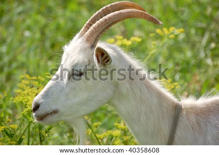White Goat Head Neck Shoulder From Side Profile Blurred Background