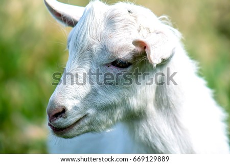 White goat in nature