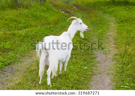 white goat in the village walking on the green grass in the summer