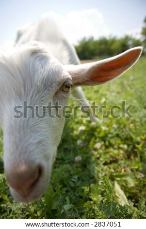 white goat looking on a camera, focus on his eye