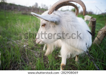 White goat on a green spring grass