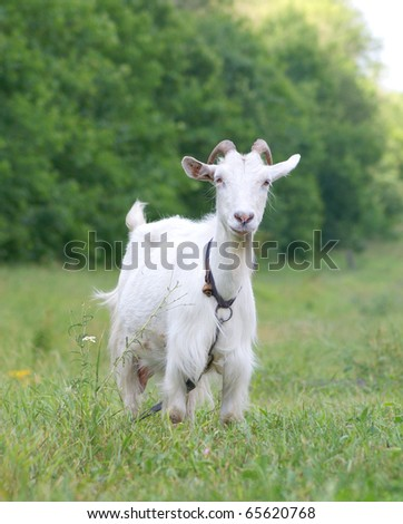 White goat on a meadow - stock photo
