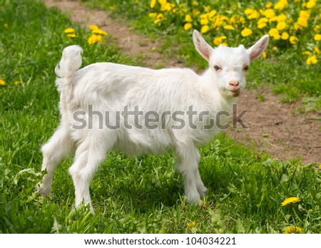 white goat on green grass - stock photo