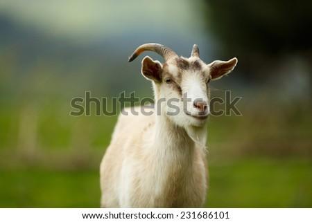 White goat portrait, blurry background - stock photo