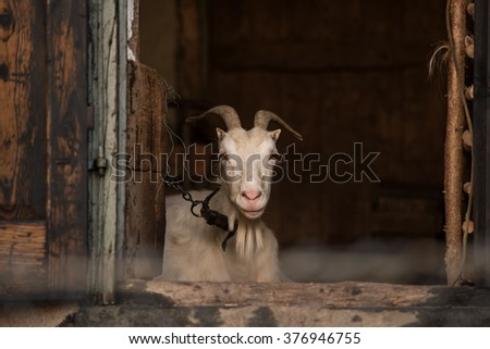 White goat portrait in the stable