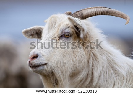 White Goat Portrait looking