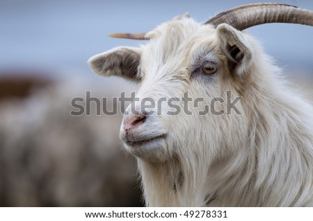 White Goat Portrait looking away