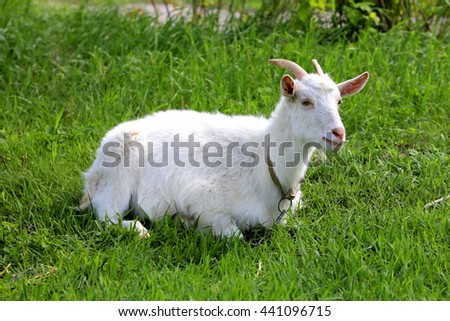 white goat rest on green grass pasture