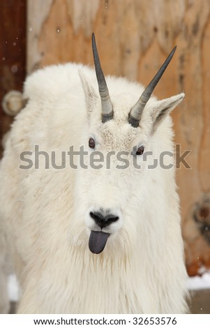 white goat sticking out tongue - stock photo
