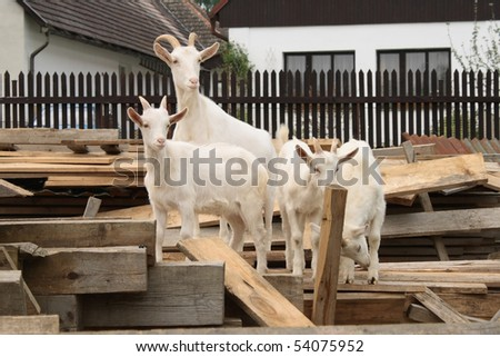 White goat with kids - stock photo
