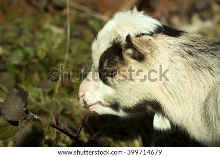 White goat young one eats crops browses grazes fresh green leaves on blurred background