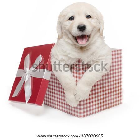 White Golden Retriever Puppy Gift Box Present Surprise / Labrador - stock photo